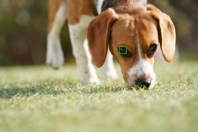 chien eye af